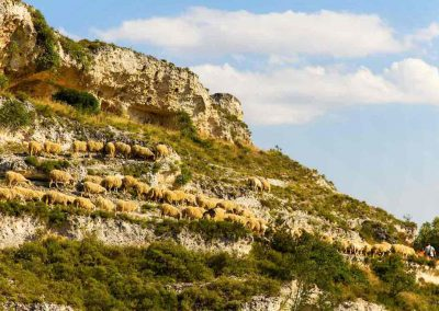 Sheep to pasture in the Gravina di Riggio