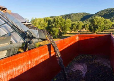 Harvesting machine discharging grape